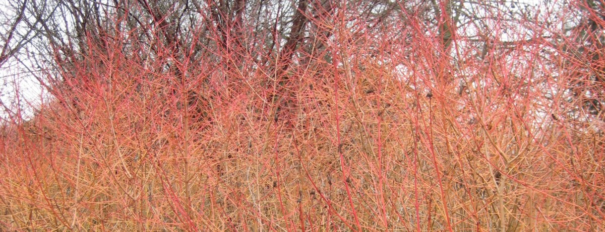 Dogwood Days and Cornus Concerns