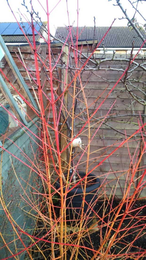 Cornus sanguinea 'Midwinter Fire' (2)