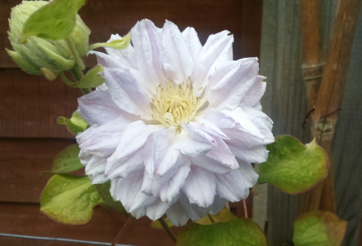 Clematis 'Belle of Woking': An Unusual History