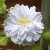 Clematis 'Belle of Woking': An Unusual History