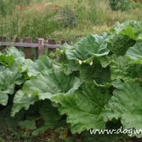 8 Delicious Recipes for Surviving a Rhubarb Glut...