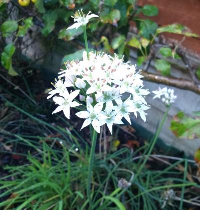 Allium tuberosum (2).JPG
