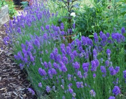 Lavandula angustifolia 'Dwarf Blue' hedge