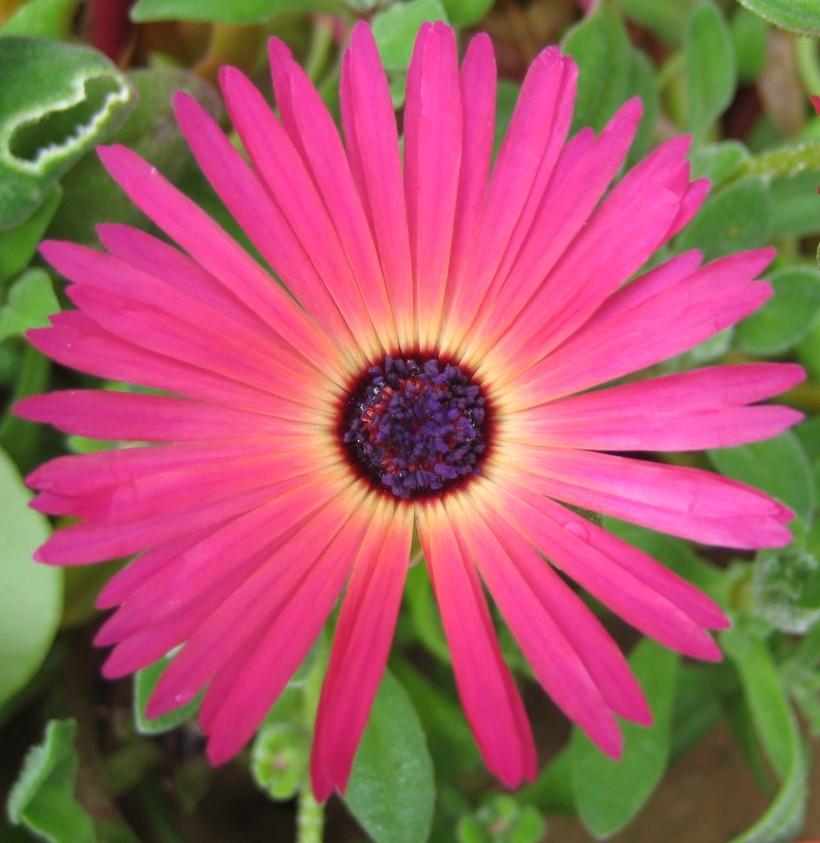 Mesembryanthemum (2)