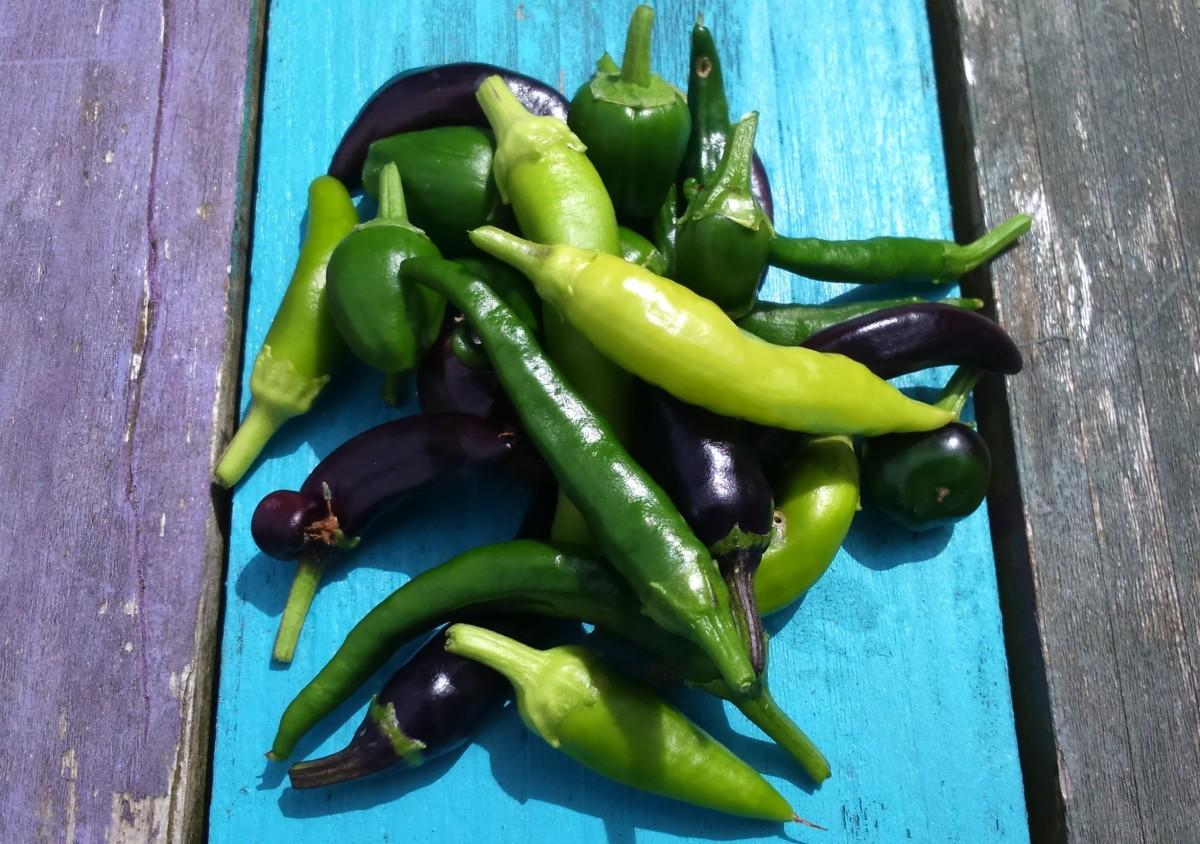 Chilli Harvest 2016