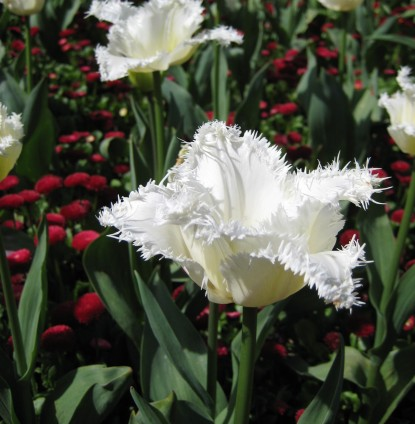 Tulipa 'Frilly White' (2).JPG