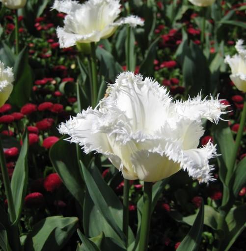 Tulipa 'Frilly White' (2).JPG