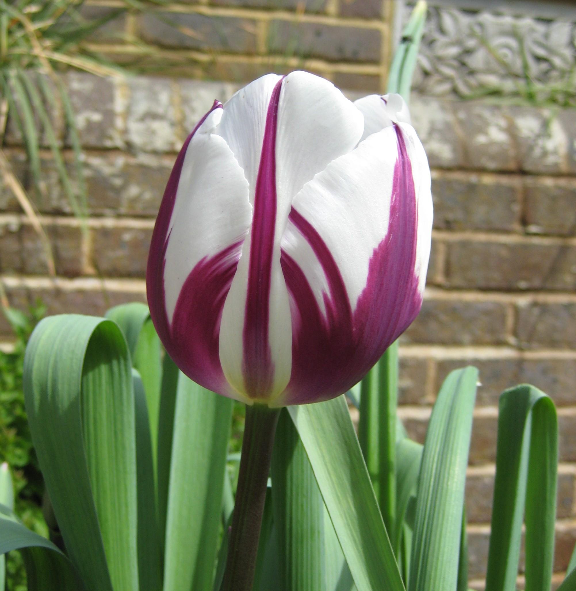 Tulipa 'Rembrant' (2).JPG