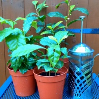 Overwintering Tea, Coffee and Other Tender Edible Perennials