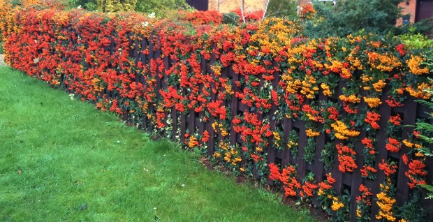 pyracantha-hedge-1-2