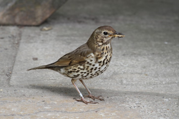 Song Thrush.png