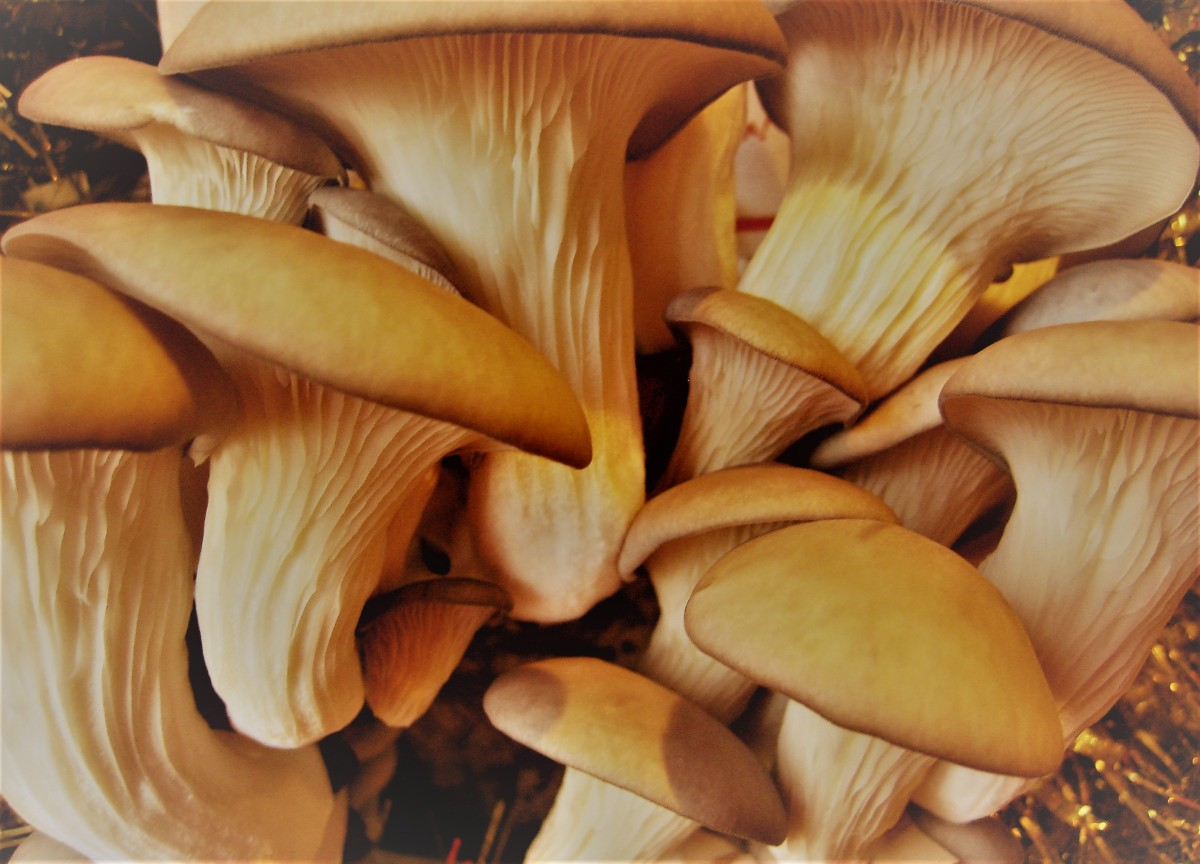 Oyster Mushroom Advent Calendar: A Christmas Harvest