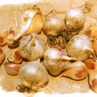 Planting Garlic in Containers and Oyster Mushroom Update