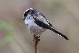 long-tailed-tit-13_10a