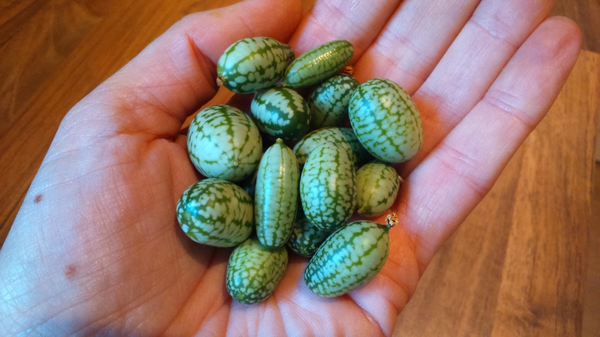 Do My Cucamelons Look Big In This?