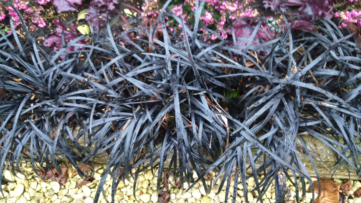 What's In A Name? Ophiopogon planiscapus 'Nigrescens'