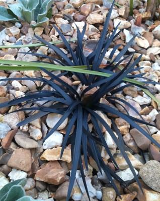 Ophiopogon planiscapus 'Nigrescens' (2)