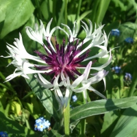 What's In A Name? Centaurea montana 'Amethyst In Snow'