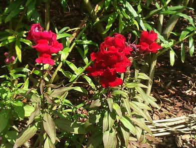 Antirrhinum majus 'Red' (2)