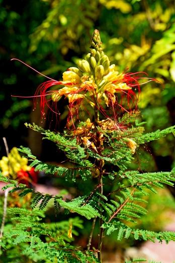 caesalpinia_gilliesii_in_jardin_des_plantes_de_montpellier_04