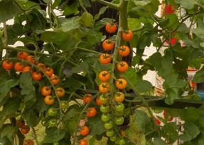 Tomato Honeycomb Burpee