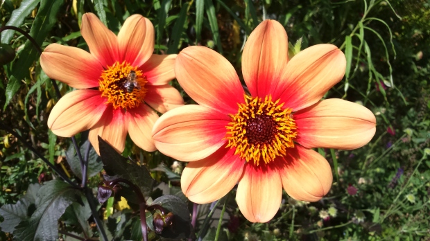 Nic Wilson Dahlia 'Happy Single Date'.JPG