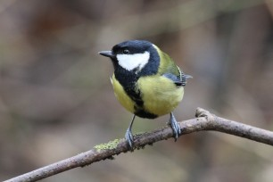 Great Tit 13_02a