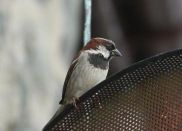 House Sparrow 06_04.JPG