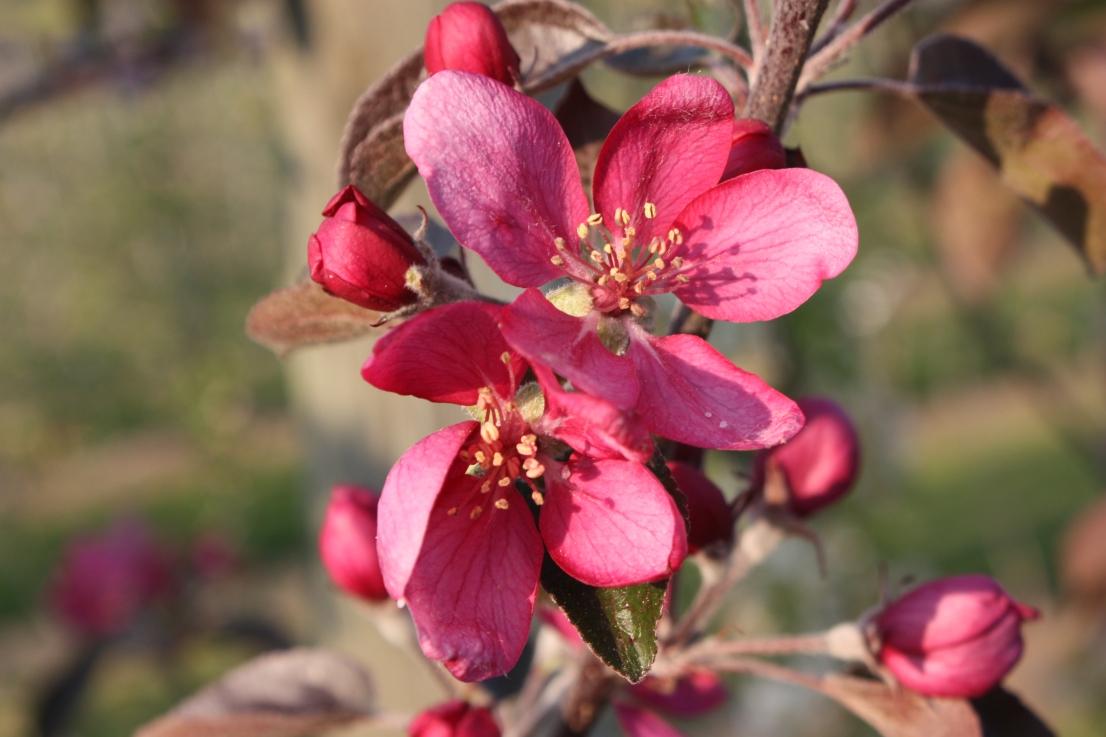 Redlove Blooms C.jpg
