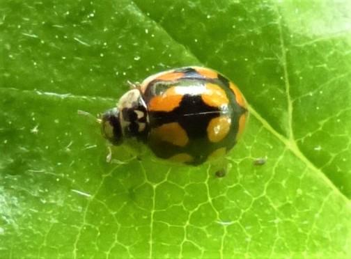 10-Spot Ladybird 20_02a (2)
